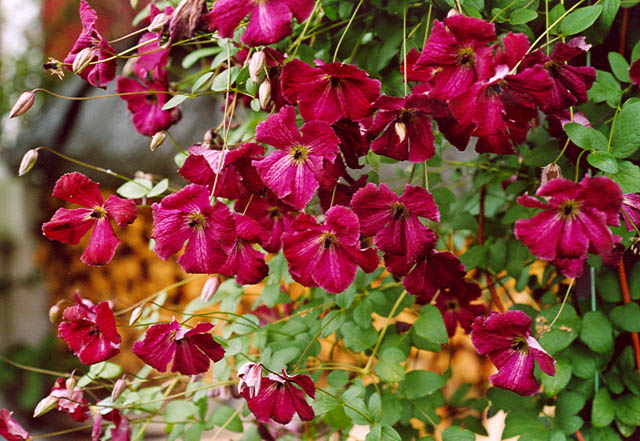 Image result for clematis viticella kermesina